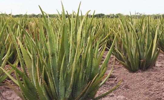 Field of Aloe Vera